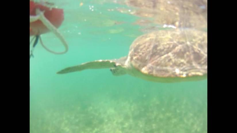 Tartaruga marinha - Praia do Sueste - Fernando de Noronha