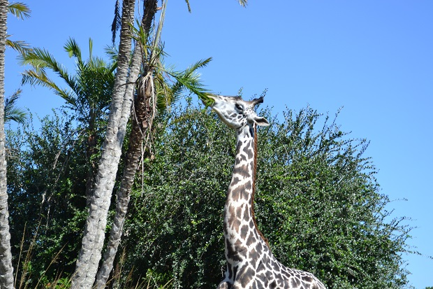 Passamos bem perto da girafa